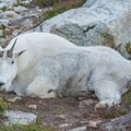 Be prepared to share you campsite with the local goats.- Black Peak: Northeast Ridge