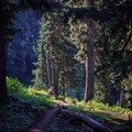 The PCT delves back into thick forest as it heads south toward the Nannie Ridge Trail junction.- Goat Rocks Thru-hike
