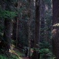 A hiker descends into old-growth forest as the Nannie Ridge Trail nears Walupt Lake.- Goat Rocks Thru-hike