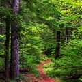The trail is surrounded by thick second-growth forest.- Pechuck Lookout