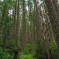 Tall second-growth forest.- Pechuck Lookout
