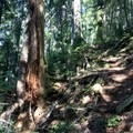 Once you've left Lynn Peak behind, the trail becomes a lot more fun. It's serene and quiet. It does a lot of upping and downing, but if you love mossy old-growth forests, it makes for a delightful contrast. - Needle Peak