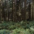 On the flat trail you wander through a beautiful field of ferns. - Needle Peak