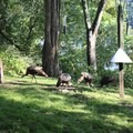 Turkeys are frequently seen near the Nature Center.- Potato Creek State Park