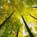 Looking up toward the towering forest canopy.- Potato Creek State Park