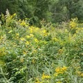 A short portion of the trail runs along the top of an old railroad bed complete with trail marker hash marks on the railroad ties. Loads of meadowland flowers -- goldenrod, jewelweed, and more -- grow high on both sides.- Finger Lakes Trail: Mitchellsville Gorge