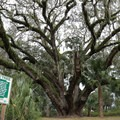 The Mammoth Live Oak, Florida's second-largest known tree. It is estimated to be between 300 and 500 years old.- Lake Griffin State Park