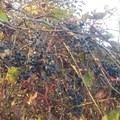 Wild grapes are abundant around the trees. - Ganondagan State Historic Site