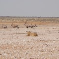 Oryxes being watched by a lion in Etosha National Park.- Etosha National Park Safari