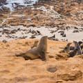 Seals hauled out along the coast.- Namib Desert Driving Tour