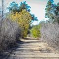 California black walnut trees add a bit of color to the walk.- Redwood Grove Trail