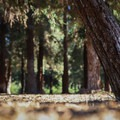The grove contains 241 coast redwood trees, the only successful non-native grove in Southern California.- Redwood Grove Trail