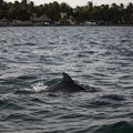 Dolphin swimming offshore.- Belize Barrier Reef System
