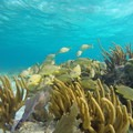 Coral and fish. Photo by John Romero.- Belize Barrier Reef System