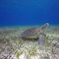 Green turtle. Photo by John Romero.- Belize Barrier Reef System