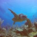 Hawksbill turtle. Photo by John Romero.- Belize Barrier Reef System