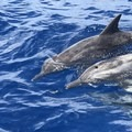 Spinner dolphins. Photo by John Romero.- Belize Barrier Reef System