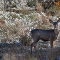 Mule deer. - McKittrick Canyon: Lower Section to the Grotto and Pratt Lodge