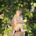 Macaque eating a mango at Angkor Wat.- Angkor Wat
