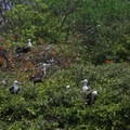Red-footed booby birds on Half Moon Caye's breeding ground and bird sanctuary.- Belize Barrier Reef System