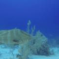 Grouper fish.- Belize Barrier Reef System