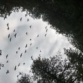 Canada geese flying overhead.- Green Lakes Perimeter Loops