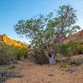 Juniper tree in the wash. - Balanced Rock via Grapevine Hills Trail
