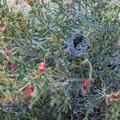 Birds nest in a chola cactus. - Balanced Rock via Grapevine Hills Trail