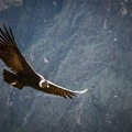 The canyon is home to the Andean condor, a species that has been the focus of worldwide conservation efforts. The condors can be seen at close range as they fly past the canyon walls and are a popular attraction.- Colca Canyon