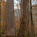 Some of the giants along the upper trail.- Joyce Kilmer Memorial Forest Loop Trail