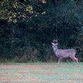 Deer can be found along the trail.- Abotts Bridge Trail