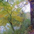 Tree turning colors along the Chattahoochee River.- Abotts Bridge Trail