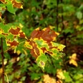 A close-up of autumn color changes.- Abotts Bridge Trail
