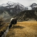 A yak grazes in a frozen field just above Manang village.- Annapurna Circuit