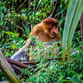 A proboscis monkey at Camp Leakey.- Camp Leakey
