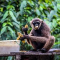 A monkey feeding at Camp Leakey.- Camp Leakey