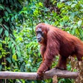 An orangutan at Camp Leakey.- Camp Leakey