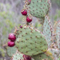 A prickly pear cactus heavy with fruit.- Annie's Canyon Trail via North Rios Trail