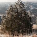 High ridgelines near the Cottonwood Creek Trail junction are home to larger trees.- Bennett-Cottonwood Loop via Maah Daah Hey Trail
