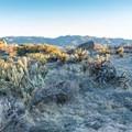 Cholla cacti at sunset in Culp Valley.- Culp Valley Loop