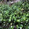 The flora of Mount Tamalpais East Peak. Please help us by identifying this species.- Mount Tamalpais East Peak via Stinson Beach