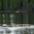 Canvasback ducks using a rock to rest. Loons and beaver were additional wildlife often seen on the water.- Lake Esnagi Fishing Lodge