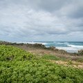 Stands of naupaka are the primary shrubs along the dunes.- Kahuku Shoreline