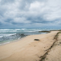 An endangered Hawaiian monk seal lounges motionless in the sand.- Kahuku Shoreline