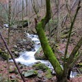 An old, mossy tree silently stands guard over a gushing Beech Creek.- Beech Creek Loop Trail to Big Scaly Mountain