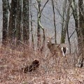 A friendly deer companion hiking down Big Scaly.- Beech Creek Loop Trail to Big Scaly Mountain