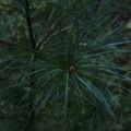 White pine at Little Tupper Lake.- Little Tupper Lake Canoe Camp