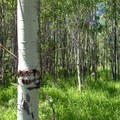 Quaking aspen (Populus tremuloides).- 25 of the West's Most Iconic Trees