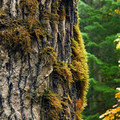 Bigleaf maple (Acer macrophyllum).- 25 of the West's Most Iconic Trees