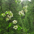 Pacific dogwood (Cornus nutallii).- 25 of the West's Most Iconic Trees